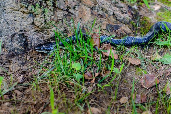 Black Rat Snake behind Cabin