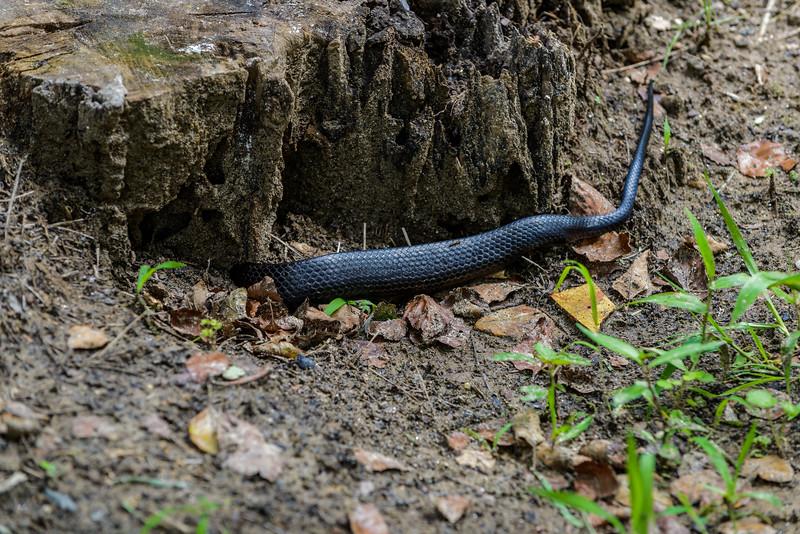 Black Snake dives under old stump after (probably) moles