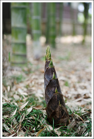 A new bamboo sprout growing on the school grounds.