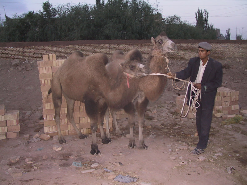 There were some camels still in the Kashgar market and here, on the edge of the Himalayas, they are a lot fuzzier than in hotter places