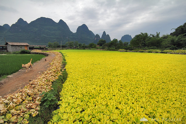 Yellow fields near Yangshuo