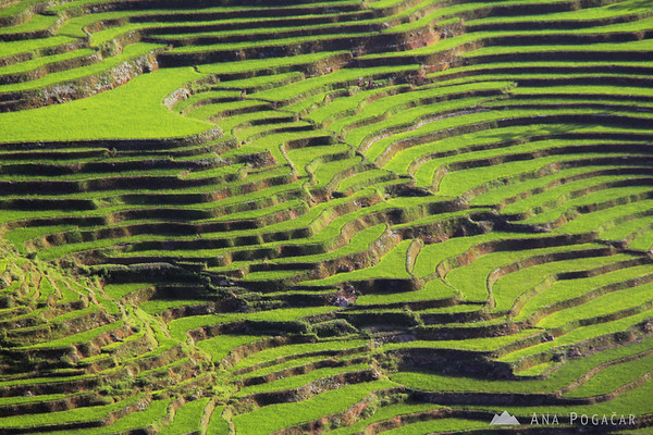 Endless green rice terraces