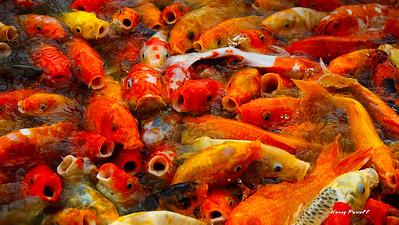 the famous feeding of Koi fish in Manila