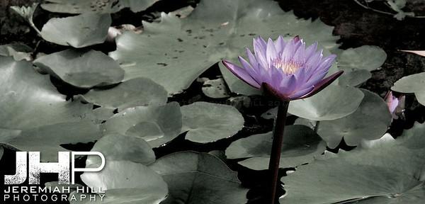 """Lotus"", Lumbini Nepal, Birthplace of the Buddha, 2007 Print IND31011-068"