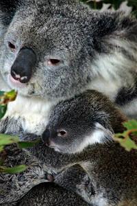 Baby Koala loves Mama Lone Pine Sanctuary, Brisbane BY: Kimberly Marshall