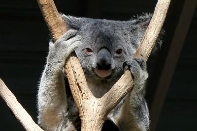 Peek-a-boo Koala Lone Pine Sanctuary, Brisbane By: Kimberly Marshall