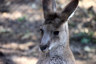 Baby Kangaroo Lone Pine Sanctuary, Brisbane BY: Kimberly Marshall