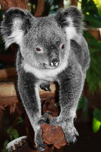 Koala Bear Lone Pine Sanctuary, Brisbane By: Ciara Mulvaney