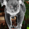 Koala Bear<br /> Lone Pine Sanctuary, Brisbane<br /> By: Ciara Mulvaney