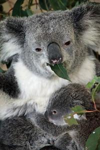 Feed Baby Koala Lone Pine Sanctuary, Brisbane By: Kimberly Marshall
