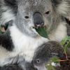 Feed Baby Koala<br /> Lone Pine Sanctuary, Brisbane<br /> By: Kimberly Marshall