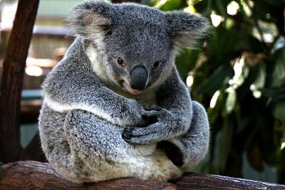 Mischievous Koala Lone Pine Sanctuary, Brisbane By: Kimberly Marshall