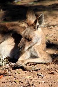 Praying Roo Lone Pine Sanctuary, Brisbane By: Kimberly Marshall