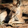 Praying Roo<br /> Lone Pine Sanctuary, Brisbane<br /> By: Kimberly Marshall