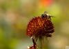布达拉宫内勤劳的蜜蜂