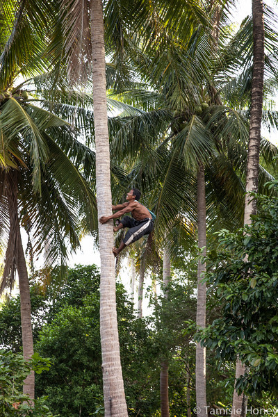 Monkey/Man - Harvesting Coconuts, Muslim Fishing Village Ko Yao Yai