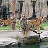 上海野生动物园 东北虎