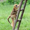 上海野生动物园 金丝猴
