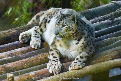 Snow Leopard (panthera unica)