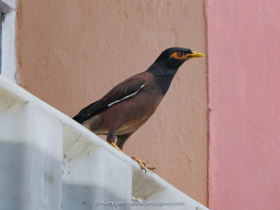 common or Indian myna (Acridotheres tristis)
