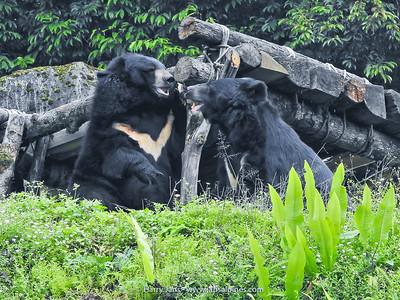 Asiatic or Tibetan black bear (Ursus thibetanus)