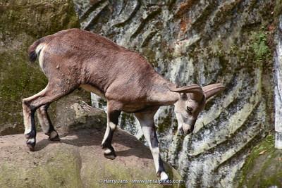 Blue sheep (Pseudois nayaur)