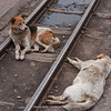 dogs everywhere in Sikkim