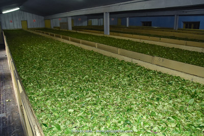 drying proces of tea leaves at Takvar Tea Factory