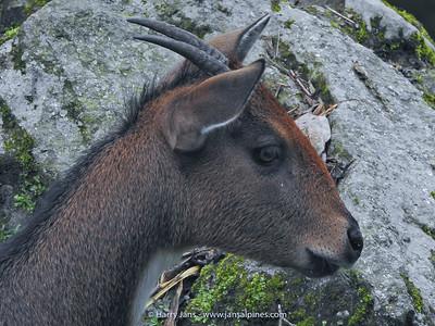Himalayan Goral (Neamorhedus goral)