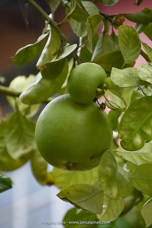 Pomelo tree (Citrus maxima × Citrus ×paradisi)