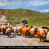 Armenia - Geghama mountains - Ghegam Ridge - Gegam - Գեղամա լեռնաշխթա - Shepard with Sheeps walking on the road
