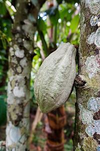 Cacao Bean Bali Farm