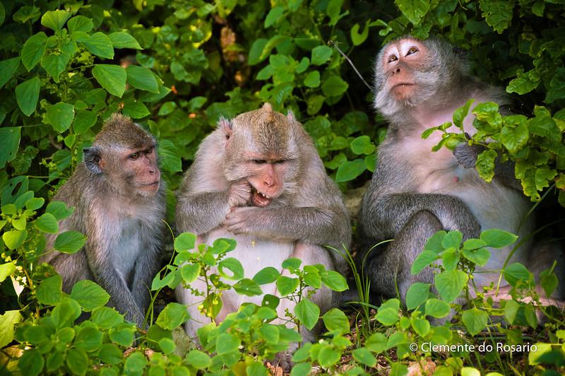 Family of Monkeys around the Para Luhur Temple in Uluwatu, Bali, Indonesia