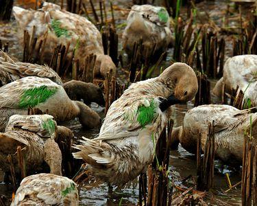 Farmers mark their ducks with paint