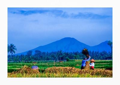 Harvesting Rice, Bali, 1995