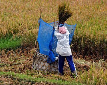 Thrashing rice