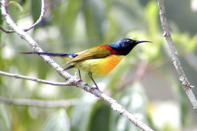 Mrs.Gould's Sunbird © Bill Lawless