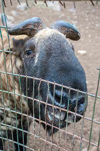 This takin with green on his horns, butted Sheri through the fence as she was standing too close.