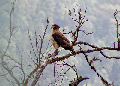 Crested Serpent Eagle © Bill Lawless