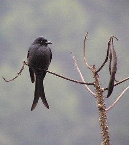 Black Drongo © Bill Gette