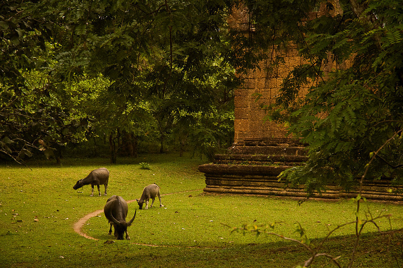 Free range cattle at Angkor Thom