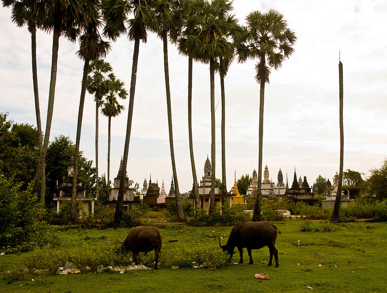 Free range cattle at Kompong Cham temple complex