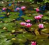 Water lilies on Airport Road, Siem Reap