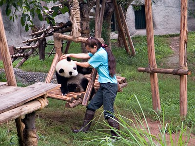The panda's foot got entangled in his swing and a keeper came to the rescue