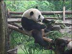 Panda, of course