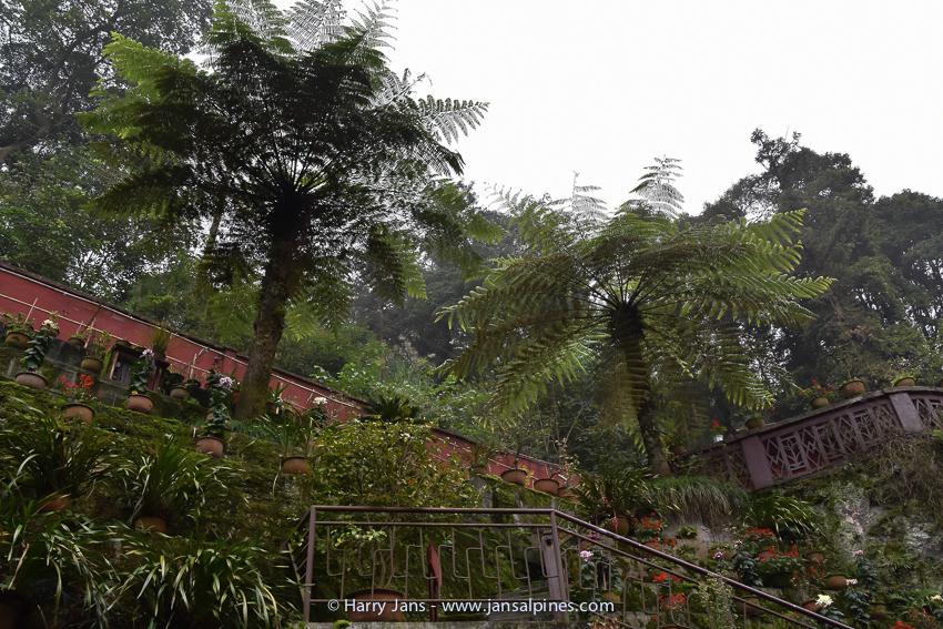 tree ferns in a small garden on Emei Shan