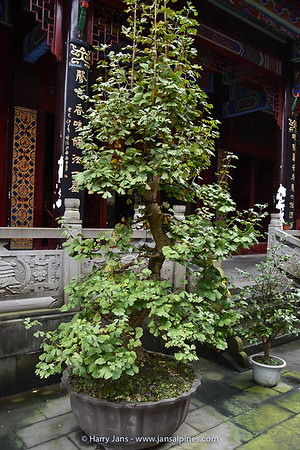 Ginkgo biloba at temple in Qingcheng Shan village