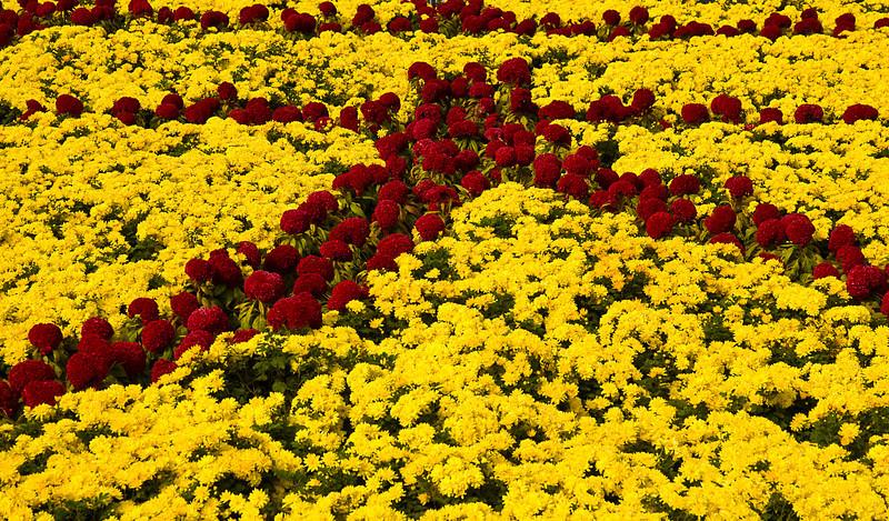 Chrysanthemums, Ming Dynasty Tombs