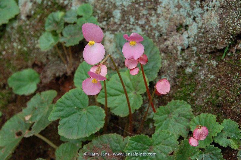 Begonia evansii