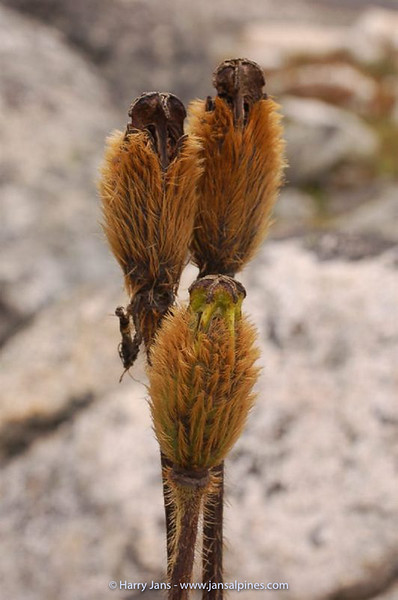 Meconopsis integrifolia